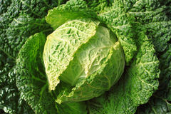 Free Cabbage On Plant Stock Photography - 20018852