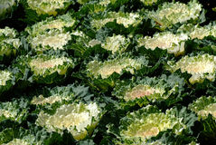 Cabbage Ornamental. Ornamental decorative cabbage, or kale, Brassica oleracea Stock Images