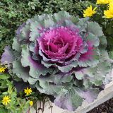 Cabbage, ornamental, flower, purple Stock Images