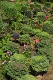 Cabbage ornamental in the garden. Cabbage ornamental on high mountain at Mae Hong Son Thailand Stock Photos
