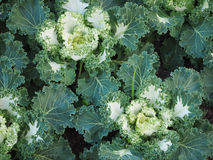 Cabbage Ornamental Stock Images