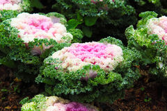 Cabbage Ornamental Royalty Free Stock Photo
