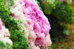 Cabbage Ornamental Stock Image