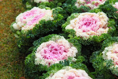 Cabbage Ornamental Royalty Free Stock Photos