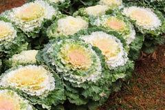 Cabbage Ornamental Stock Photo