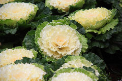 Cabbage Ornamental Royalty Free Stock Images