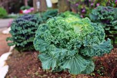 Cabbage Ornamental Stock Photo