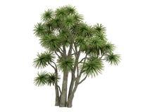 Cabbage_Palm_ (Cordyline australásio) Fotografia de Stock Royalty Free