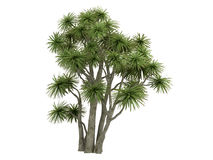 Cabbage_Palm_(Cordyline australis) Royalty Free Illustration
