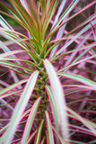 Cabbage Palm Royalty Free Stock Photos
