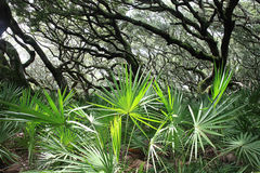 Cabbage Palm Royalty Free Stock Photo