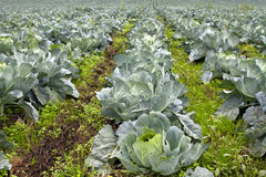 Cabbage Patch in Oregon 2 Stock Photography