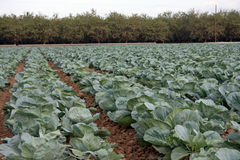 Cabbage patch with trees in background. Many rows of cabbage growing at a farm Royalty Free Stock Images