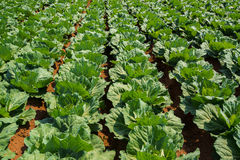 Cabbage patch wide angle Stock Image