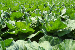 Cabbage patch Stock Photography