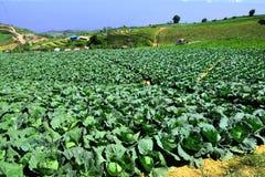Cabbage of Phu Tub Berk Royalty Free Stock Photography
