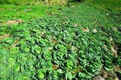 Cabbage of Phu Tub Berk Stock Photos