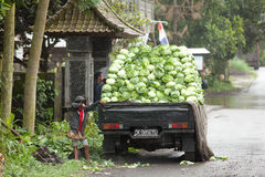Cabbage pickup. LAKE BATUR, BALI - JANUARY 21. Pickup filled with cabbage on street on Lake Batur on January 21, 2012 in Bali, Indonesia. Land around the lake is Royalty Free Stock Photos