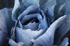 Cabbage plant Royalty Free Stock Images