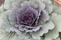Cabbage plant. Close up of brassica olerace purple and green ornamental cabbage plant Royalty Free Stock Image