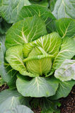 Cabbage Plant Closeup Royalty Free Stock Photos