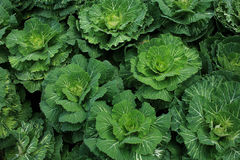 Cabbage on plant Royalty Free Stock Photos