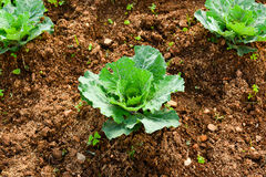 The cabbage. Cabbage plant in the cabbage farm Stock Photo