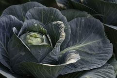 Cabbage plant headed out royalty free stock photos