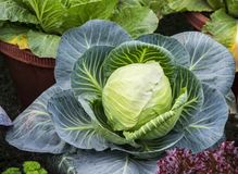 Cabbage plant. In home garden royalty free stock photos