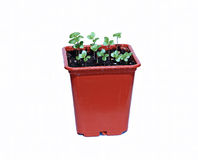 Cabbage plant in a pot isolated Stock Photo