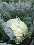 Cabbage plant with white head Stock Image