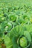 Cabbage Plantation Royalty Free Stock Image