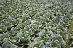 Cabbage plantation Stock Photography