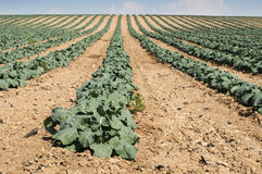 Cabbage plantation Royalty Free Stock Photo