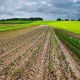 Cabbage Plantation Royalty Free Stock Photo