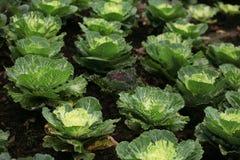 Cabbage plantation farm Stock Photography