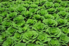 Cabbage plantation. Fresh Green Cabbage In Agriculture Plantation Royalty Free Stock Photo