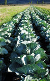 Cabbage plantation Stock Image