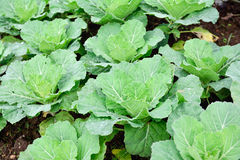 Cabbage plantation green agriculture Royalty Free Stock Image