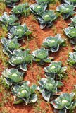 Cabbage plantation in India Royalty Free Stock Image
