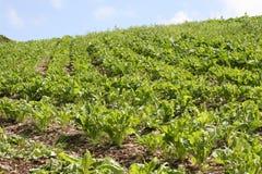 Cabbage plantation on irish hills Royalty Free Stock Photo