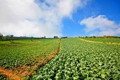 Cabbage plantation in Phetchabun, Thailand Stock Photography