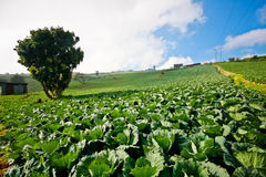 Cabbage plantation in Phetchabun, Thailand Stock Images
