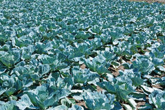 Cabbage plantation in summer day Stock Photo