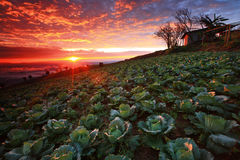 Cabbage plantation sunrise Royalty Free Stock Photo