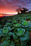 Cabbage plantation at twilight Royalty Free Stock Photos