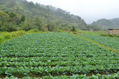 Cabbage plantation Stock Images