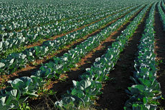 Cabbage plantation Stock Photography