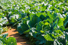 Cabbage planted on garden stock images