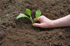 Cabbage planting Stock Images